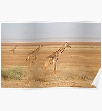 Giraffes at Lake Manyara Poster