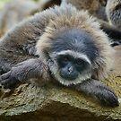 Sivery Gibbon by Chris  Randall