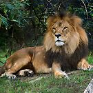 African Lion by Chris  Randall