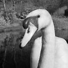 Swan 3 by SylviaHardy