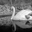 Swan 4 by SylviaHardy
