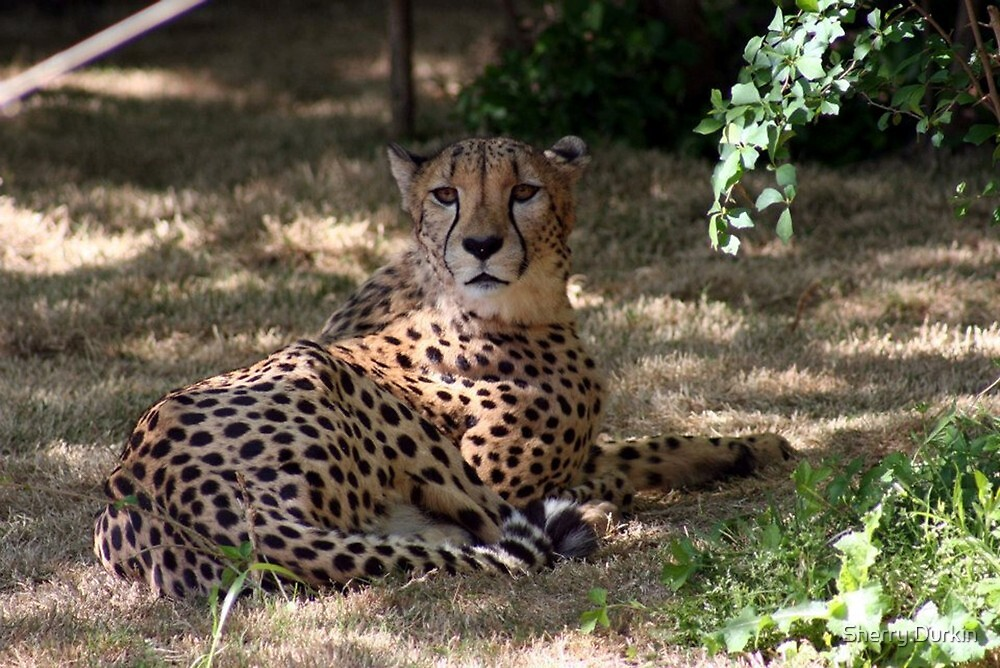 Cheetah by Sherry Durkin