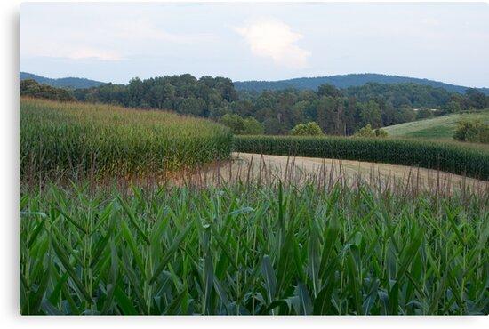 Virginia Corn Fields by SuzannemorriS
