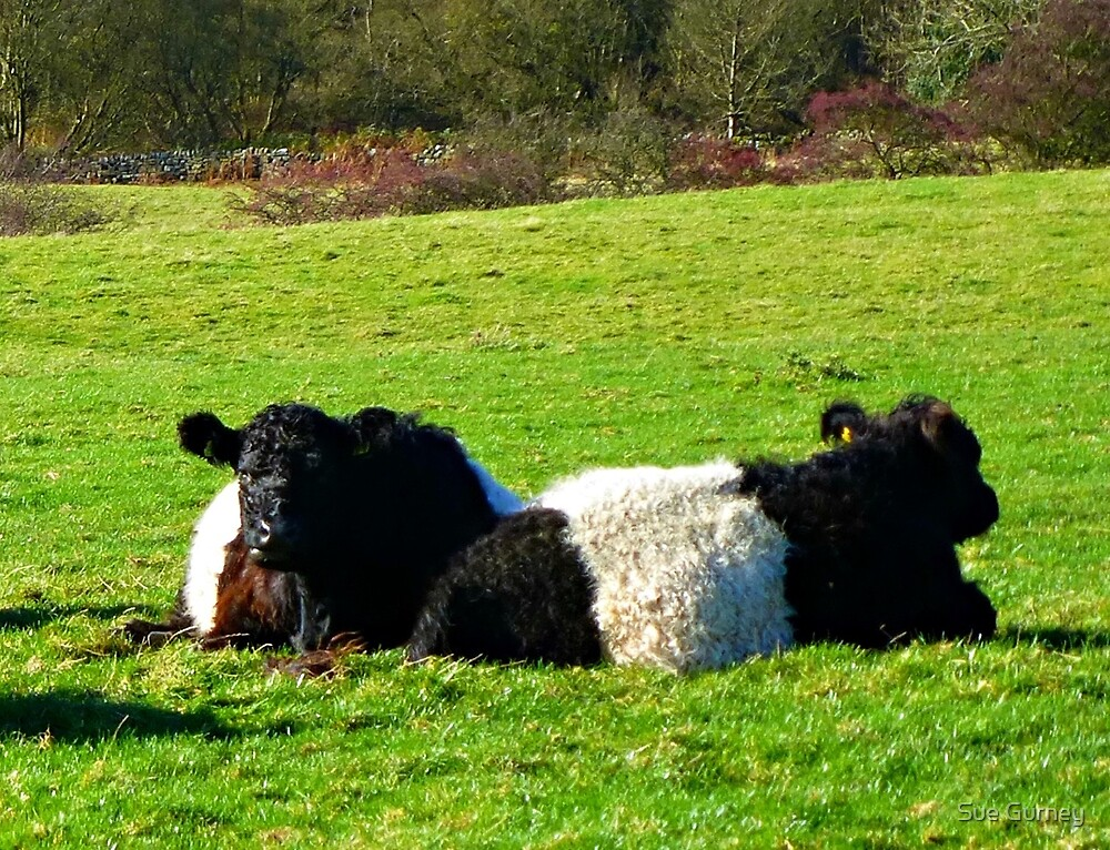 Belted Galloways by Sue Gurney