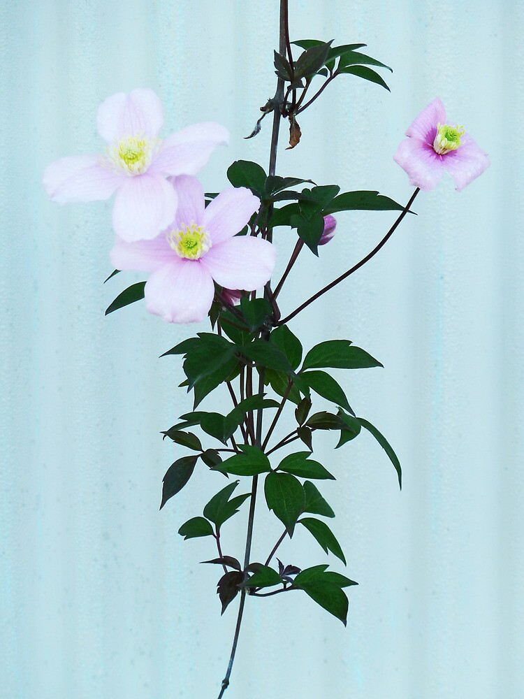 The Pink Clematis  by PictureNZ