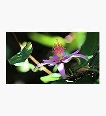 Lavender Starflower - Sun & Shadows Photographic Print