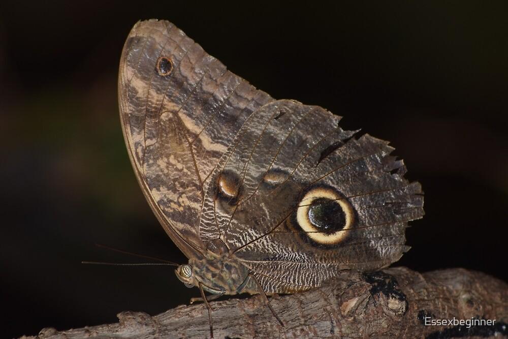 owl eyed butterfly by Essexbeginner