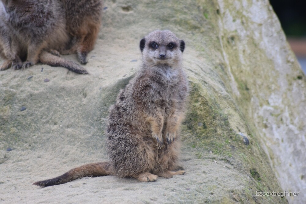 "Meerkat ""are you looking at me"" by Essexbeginner"