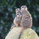 Meerkat family outing by Essexbeginner