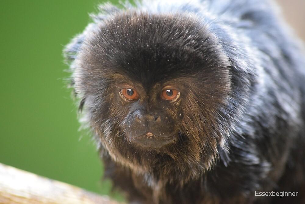 marmaset monkey by Essexbeginner