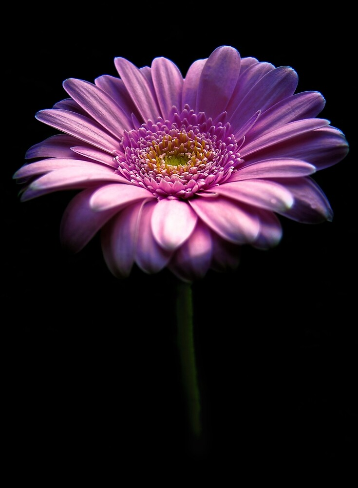 Fresh Pink Daisy by beatrice11