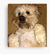 Soft Coated Wheaton Terrier Canvas Print