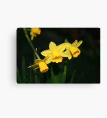 Calling the daffodils Canvas Print