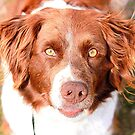 Scout the Spaniel by Jessie Miller/Lehto