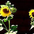 Sunflowers  by Jessie Miller/Lehto
