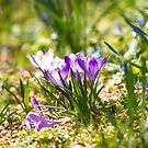 Springy crocus clusters by Zoe Power