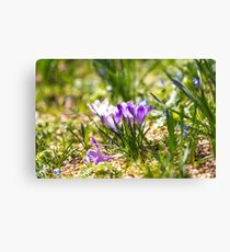 Springy crocus clusters Leinwanddruck