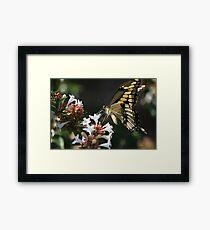 Tiger swallowtail on Abelia Framed Print