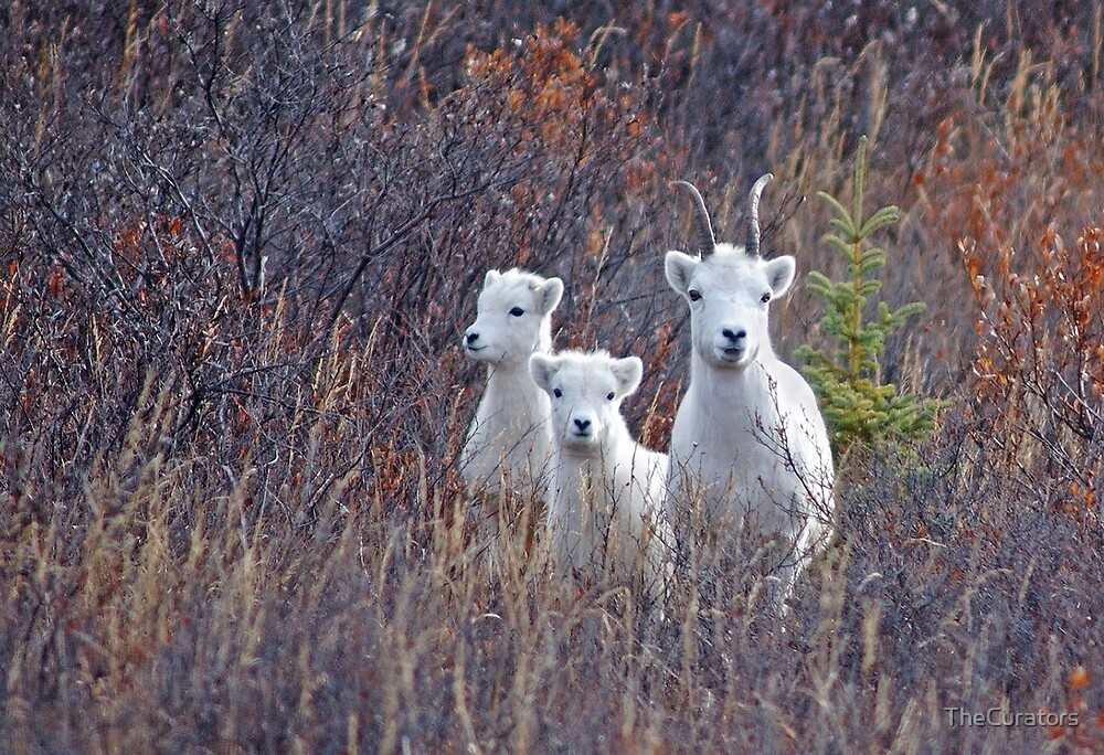 Dall Sheep Ewe With Two Lambs at Denali by TheCurators