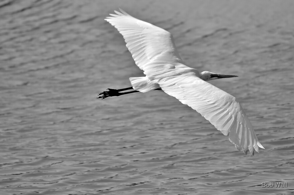 Great Egret Flyby by Bob Wall