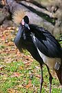 West African Crowned Crane by Kenneth Keifer