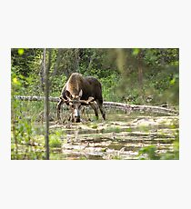 Bull Moose Photographic Print