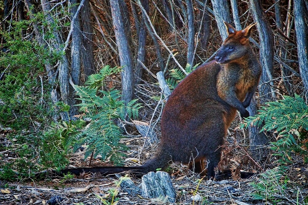 Swamp Wallaby by Bette Devine