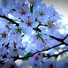 Kenwood Blossoms by Thaddeus Zajdowicz