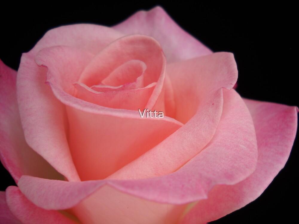 Pink Rose by Vitta