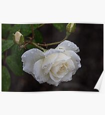 White Rose With Raindrops Poster