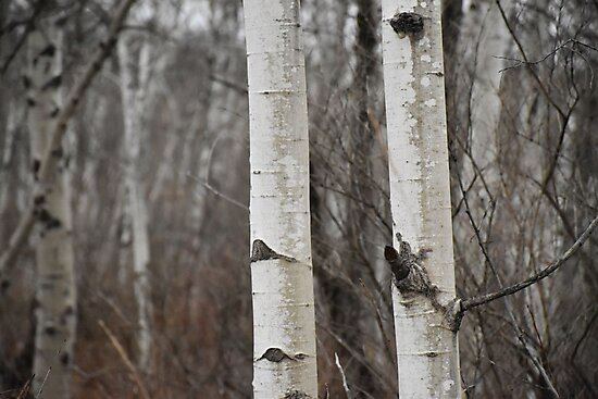 Birch Trees by andrewmiller