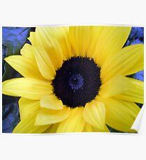 Blue Eyed Sunflower Poster