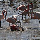 Splashing time, Pink Flamingoes by David Carton
