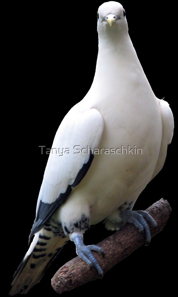 Imperial pigeon by CraftyTiger