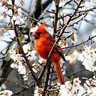 Cardinal In The Apple Blossoms by AngieDavies