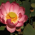 Pink Lotus at the Blue Water Garden (AUS) by elm321