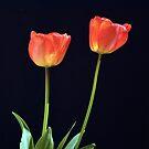 Tulips by Jim Wilson