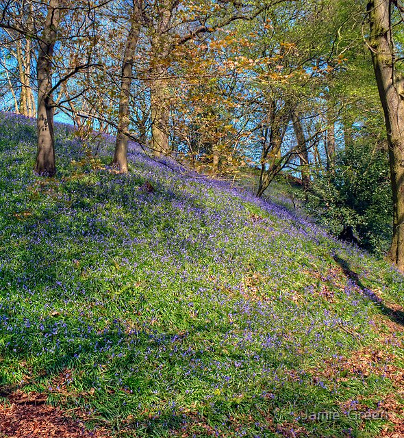 The Bluebell Woods by Jamie  Green