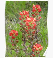 Tall Indian Paintbrush Poster