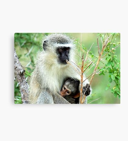 MOTHER LOVE - THE VERVET MONKEY - Cercopithecus aethiops - Blou-aap Canvas Print
