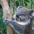 Koala by margotk