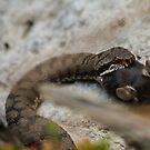 Asp Viper - Feeding by Stefan Trenker