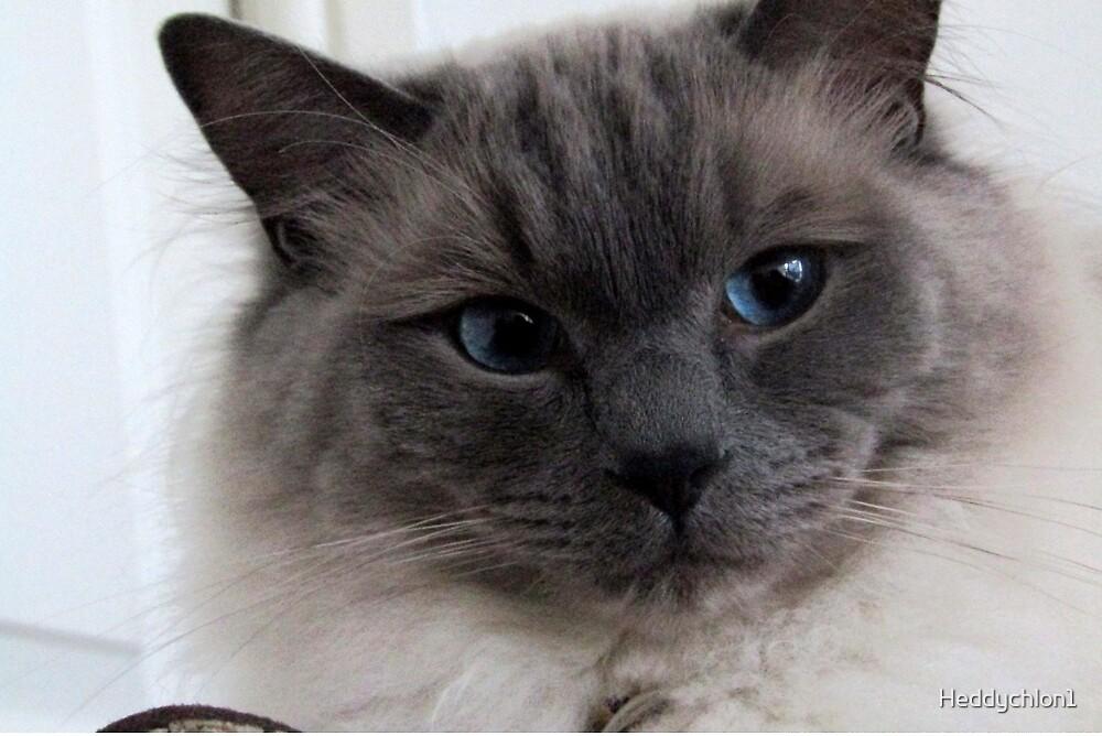 Ragdoll Cat by Heddychlon1