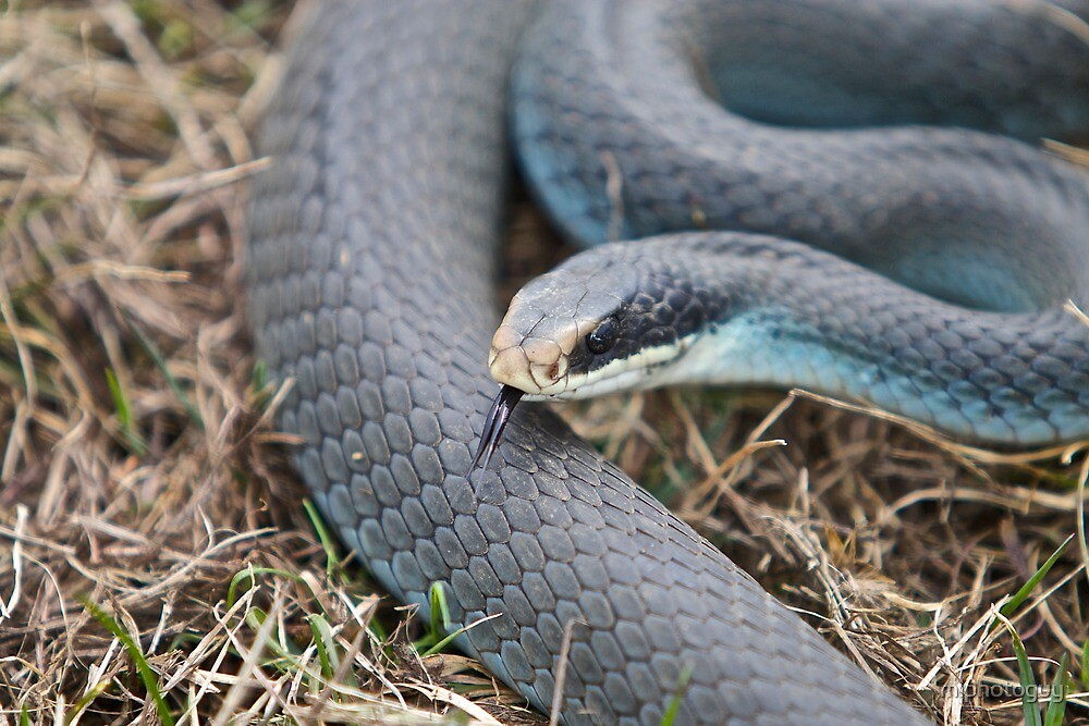 """Michigan Blue Racer Snake"" by miphotoguy 