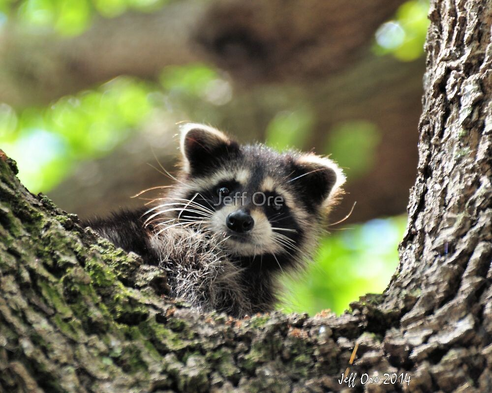 Baby Raccoon by Jeff Ore