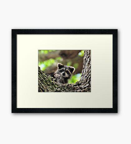 Baby Raccoon Framed Print