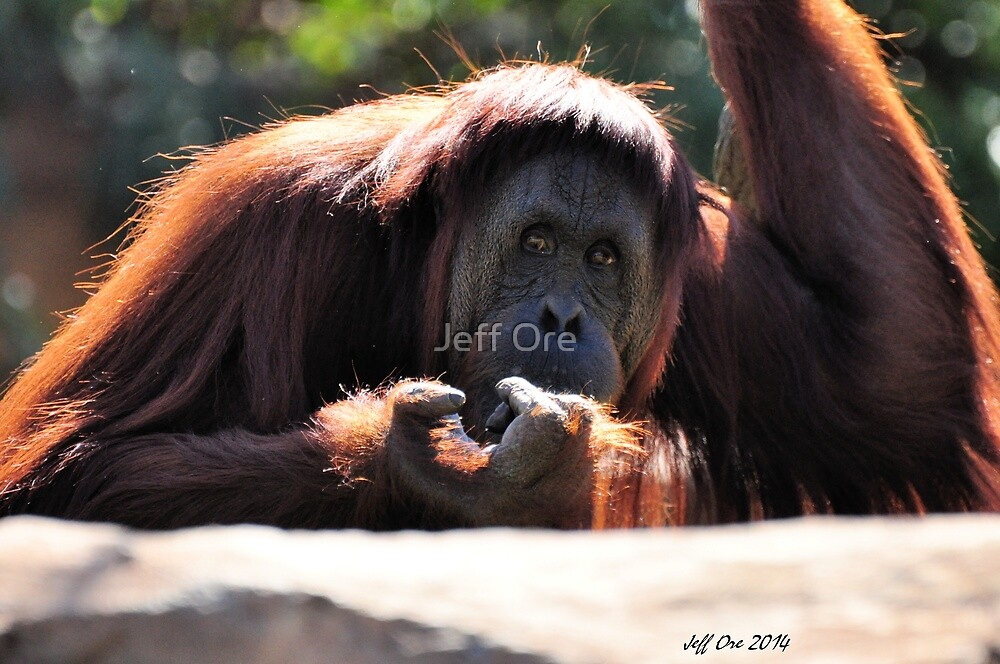Orangutan by Jeff Ore