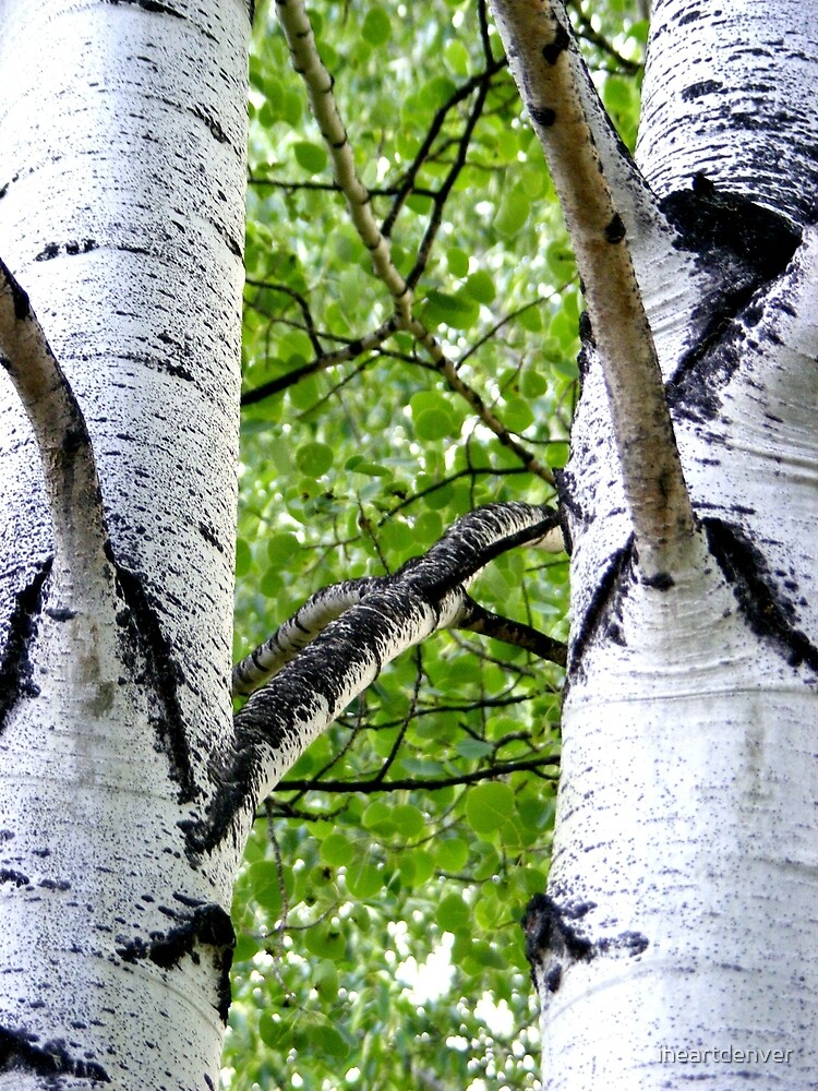 Colorado Aspens by iheartdenver