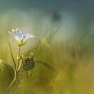Cerastium fontanum subsp. vulgare  by Bob Daalder