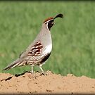 Gambel's Quail (Male) by Kimberly Chadwick